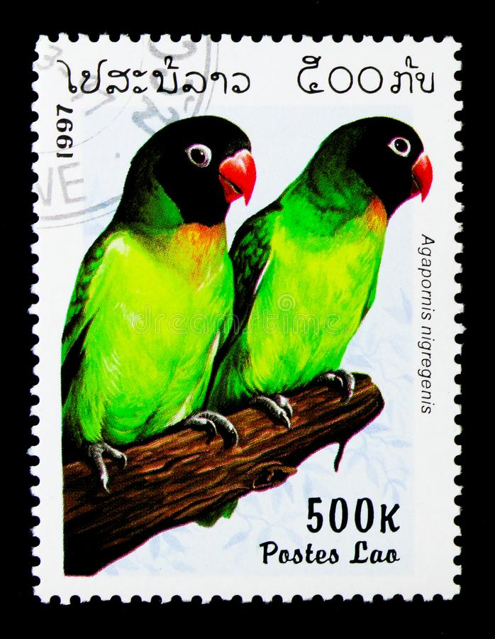 Svart-vara fräck mot dvärgpapegoja (Agapornisnigregenis), papegojaserie, ci arkivbilder