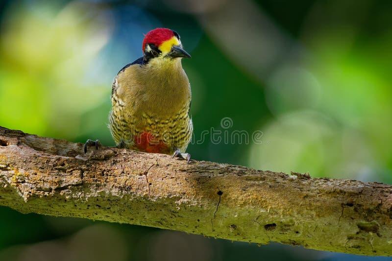 Svart-vara fräck mot hackspett - fågel för avel för Melanerpespucheraniinvånare från sydöstliga Mexico söder till västra Ecuador royaltyfria bilder
