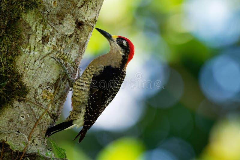 Svart-vara fräck mot hackspett - fågel för avel för Melanerpespucheraniinvånare från sydöstliga Mexico söder till västra Ecuador royaltyfri fotografi