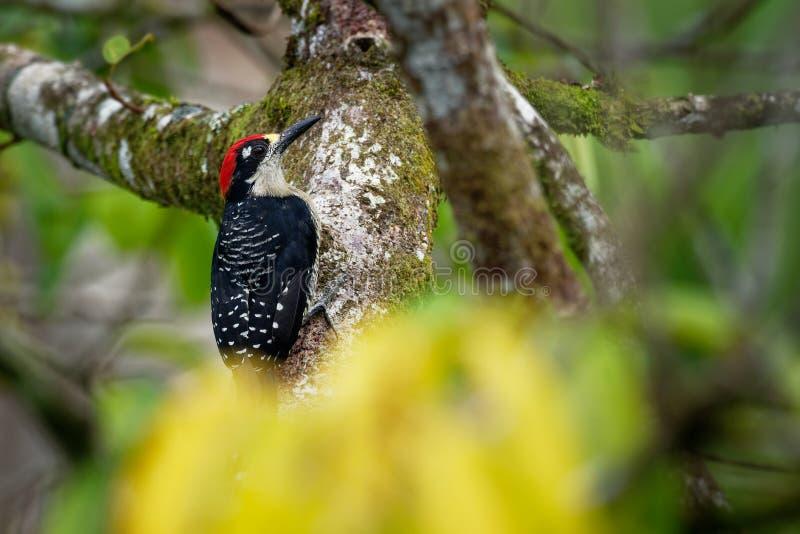 Svart-vara fräck mot hackspett - Melanerpespucheraniinvånare som föder upp den svartvita och röda fågeln royaltyfria foton