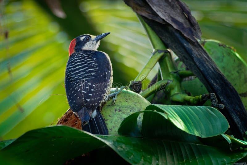 Svart-vara fräck mot hackspett - Melanerpespucheraniinvånare som föder upp den svartvita och röda fågeln arkivfoto