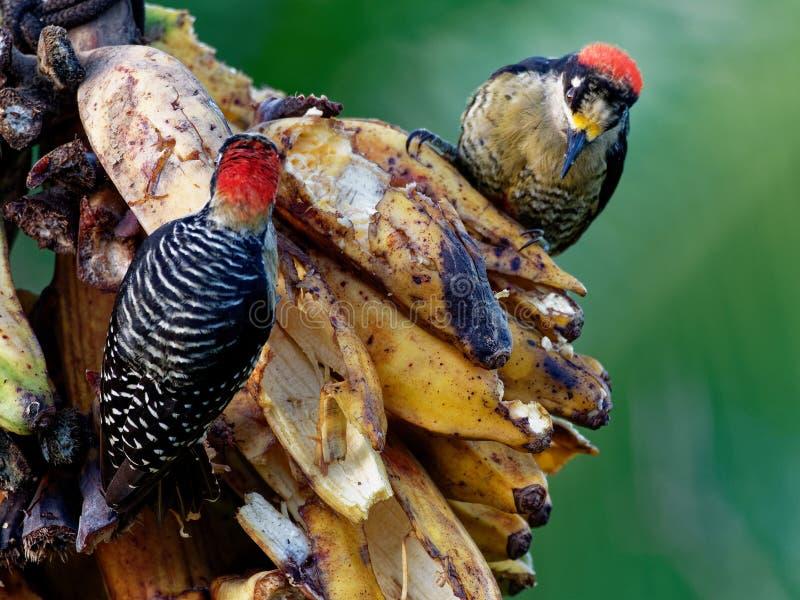 Svart-vara fräck mot hackspett - Melanerpespucheraniinvånare som föder upp den svartvita och röda fågeln royaltyfri fotografi