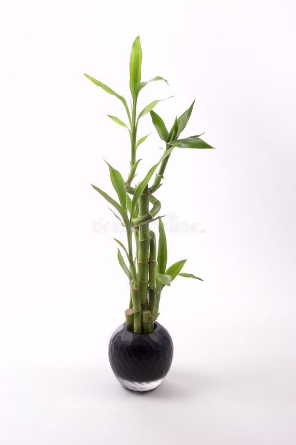 svart vase för bambu arkivbild