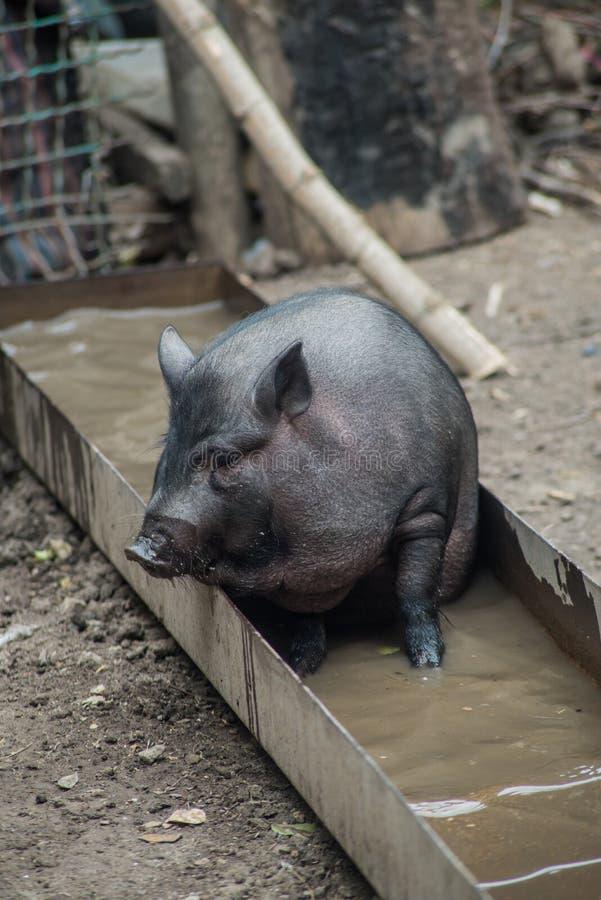 Svart vietnamesisk svinsimning i en ho, närbild fotografering för bildbyråer