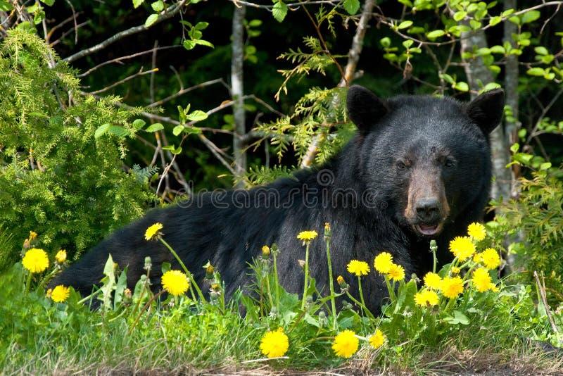 svart vildmark för björn arkivfoton