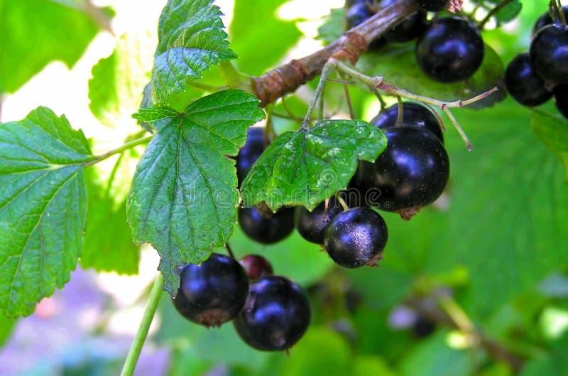 svart vinbär fotografering för bildbyråer