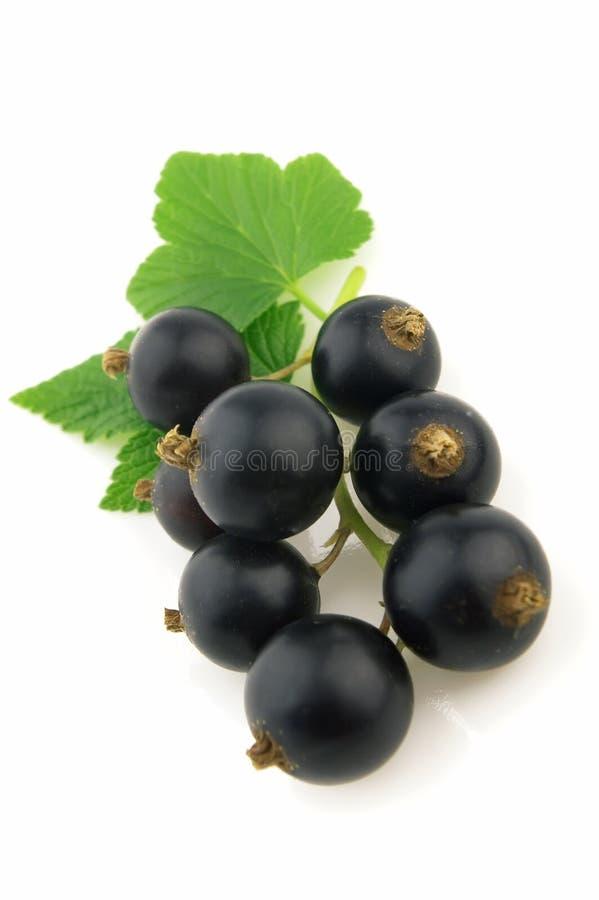 svart vinbär royaltyfria bilder