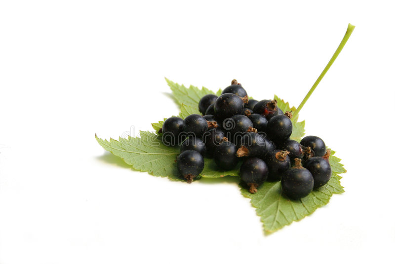 svart vinbärleaf för bär arkivbilder