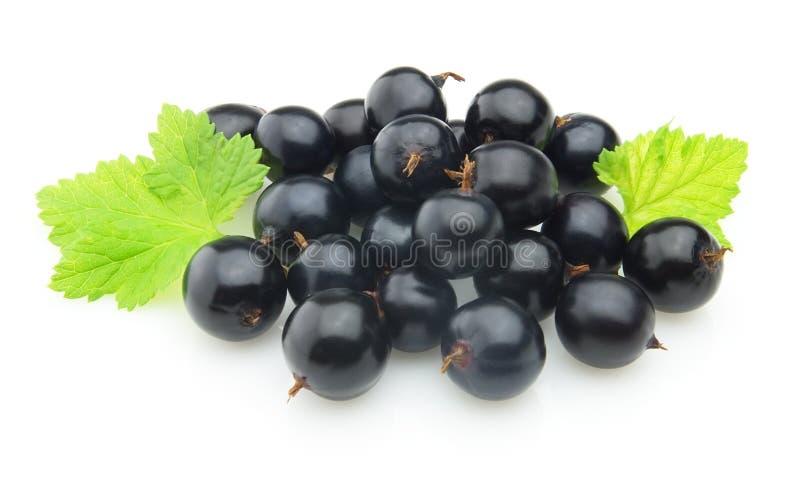 svart vinbärleaves royaltyfria foton