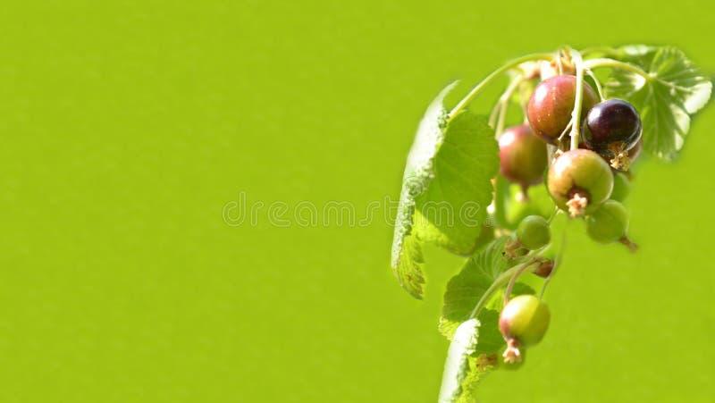 Svart vinbärribesfrukter på grön bakgrund, baner för website med trädgårdbegrepp royaltyfria bilder