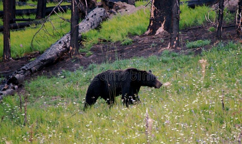 svart wild för björn royaltyfria bilder