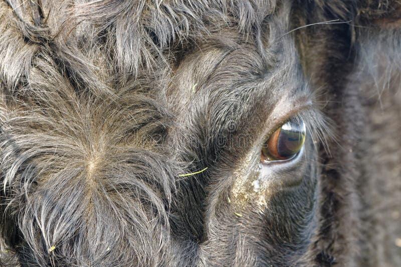 Svarta Angus Cow, slut upp på öga reflekterande stående royaltyfri fotografi