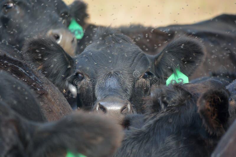 Svarta Angus Cow Struggles som ska ses över flocken arkivfoton