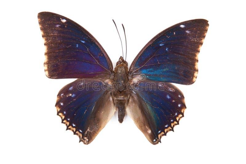 svarta blåa fjärilscharaxes för bipunctatus royaltyfri foto