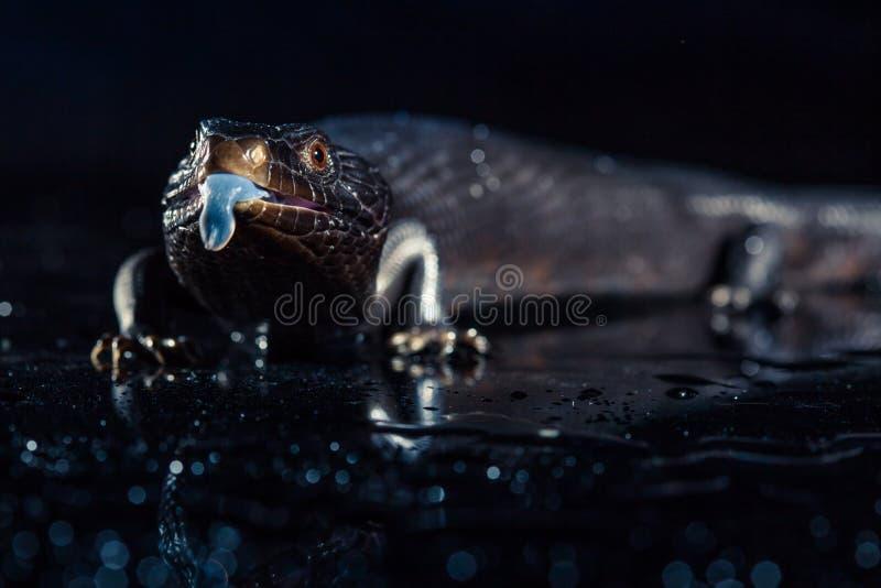 Svarta blått spontade ödlan i mörk skinande environement royaltyfri foto