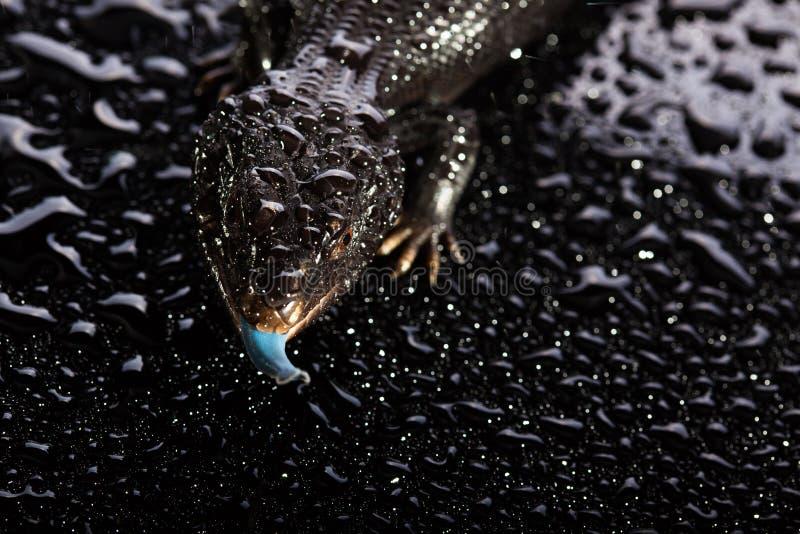 Svarta blått spontade ödlan i våt mörk skinande environement arkivbilder