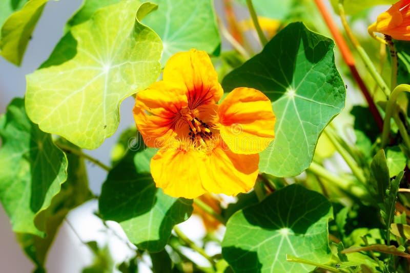 svarta bladlöss på blomningen Orange Nasturtiumblomma fotografering för bildbyråer