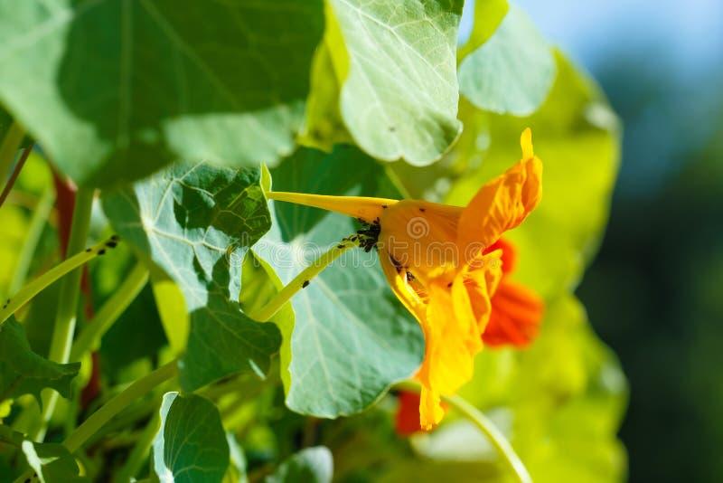 svarta bladlöss på blomningen Orange Nasturtiumblomma arkivbilder