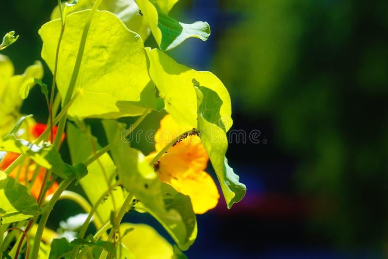 svarta bladlöss på blomningen Orange Nasturtiumblomma arkivfoton