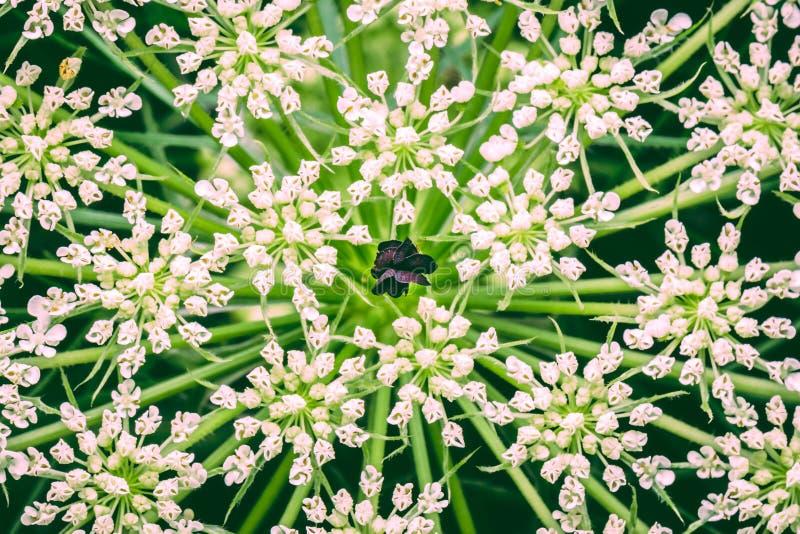 Svarta blommakronblad in bland flera kronblad för vit blomma royaltyfria bilder