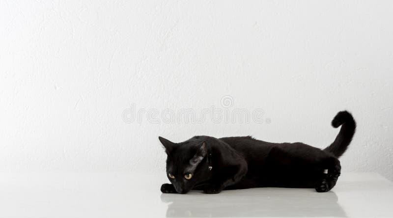 Svarta Bombay Cat Lying på den vita bakgrunden arkivbild