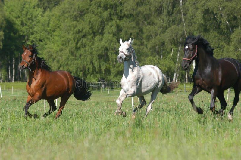 svarta bruna gråa hästar royaltyfri foto