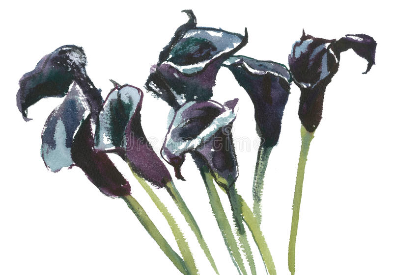 Svarta callas, vattenfärg vektor illustrationer