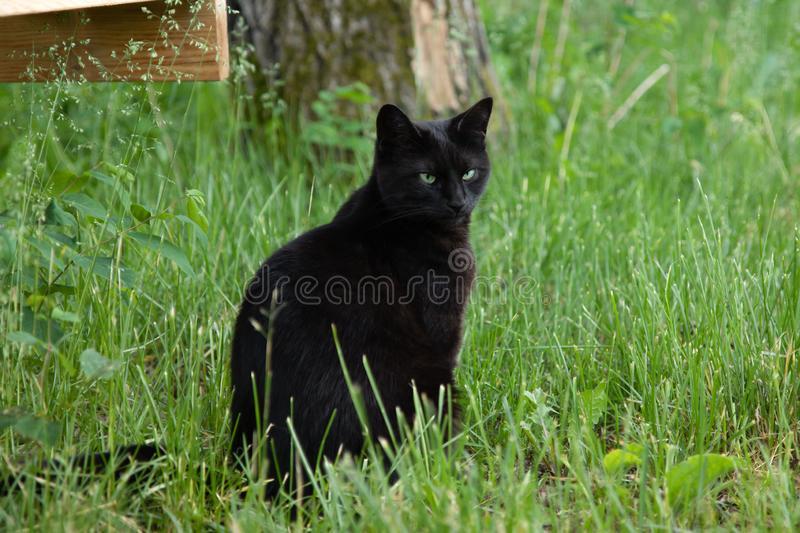 Svarta Cat Portrait Outdoors i sommaren royaltyfri foto