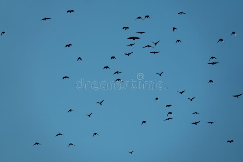 Svarta fåglar över blå himmel royaltyfri foto