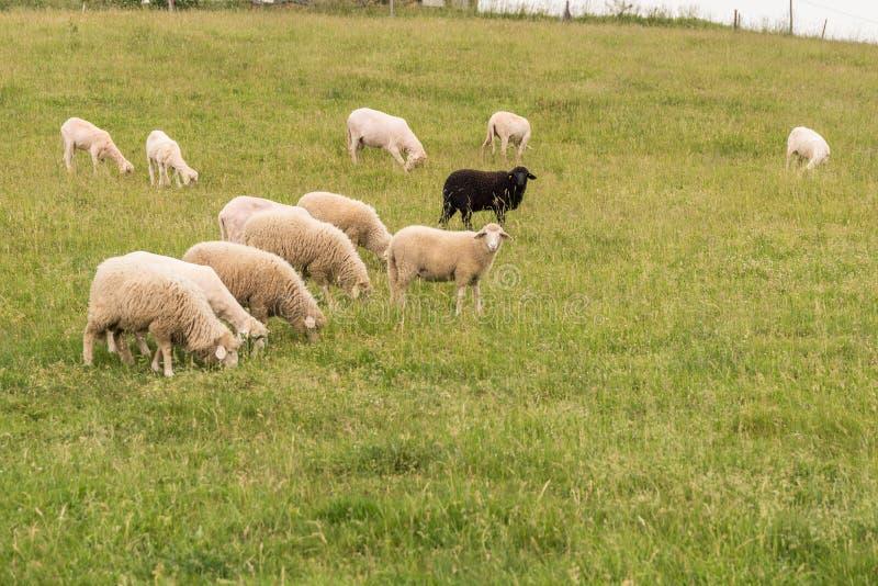 Svarta får med den vita flocken arkivfoto