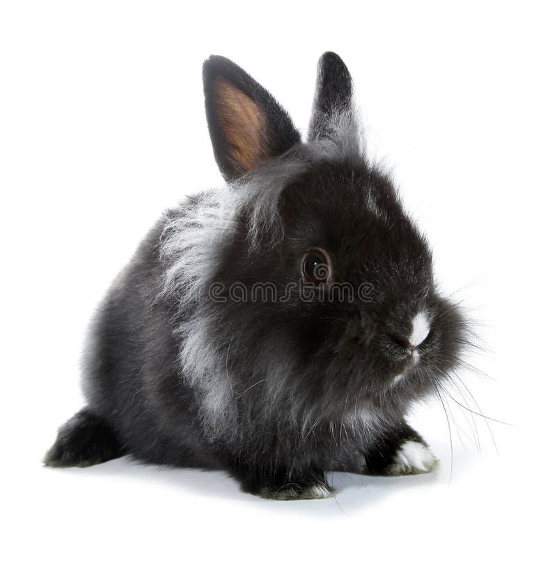 Svarta grå färger oavbrutet tjata kaninen som isoleras på vit bakgrund royaltyfri fotografi