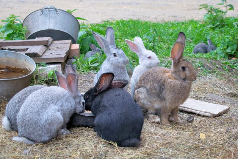 Svarta, gråa, bruna och vita kaniner äter på lantgården på sommar royaltyfri foto
