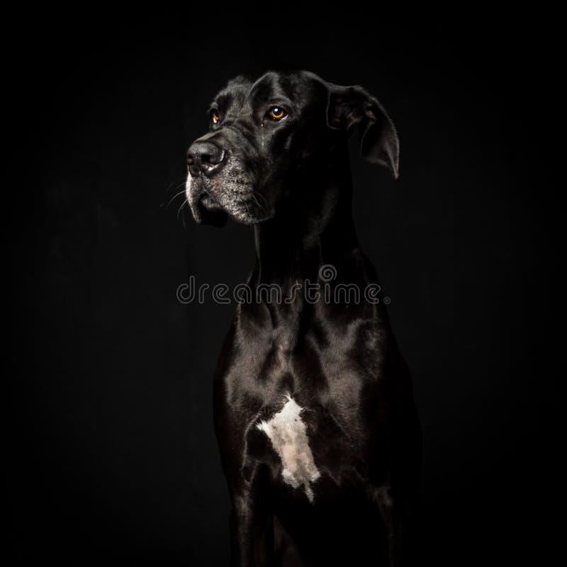 Svarta great dane i svart bakgrund fotografering för bildbyråer