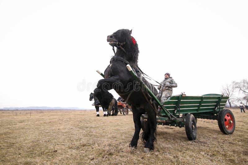 Svarta härliga smyckade baksidor för en häst, medan dra en vagn, för en Epiphanyberömhästkapplöpning royaltyfria bilder