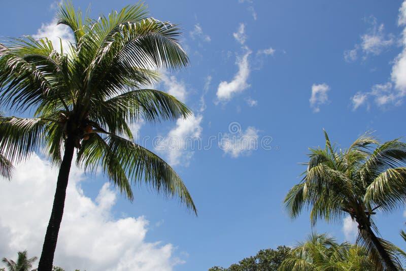 Svarta konturer av tropiska palmträd mot en ljus blå himmel royaltyfria bilder