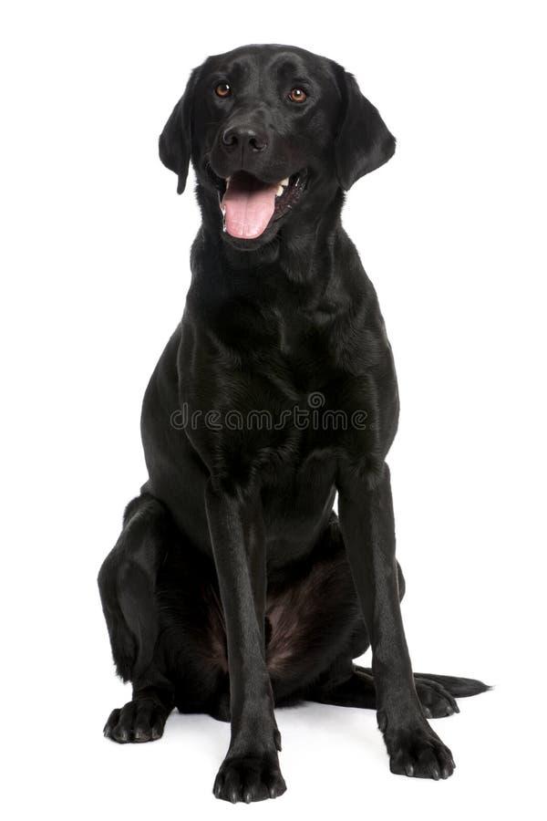 svarta labrador arkivfoto