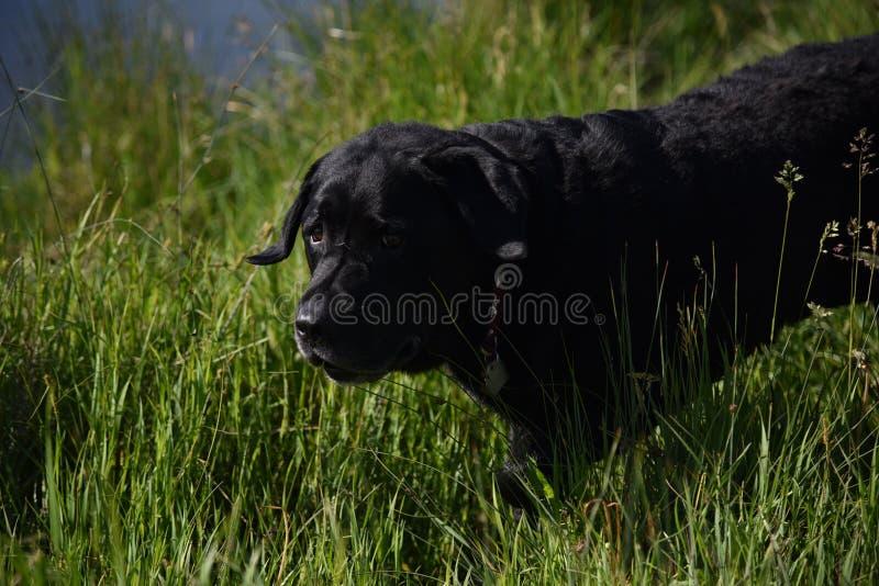 svarta labrador royaltyfria bilder