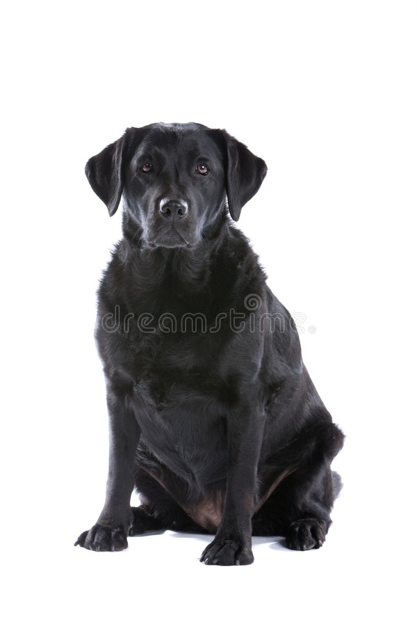 svarta labrador royaltyfria foton