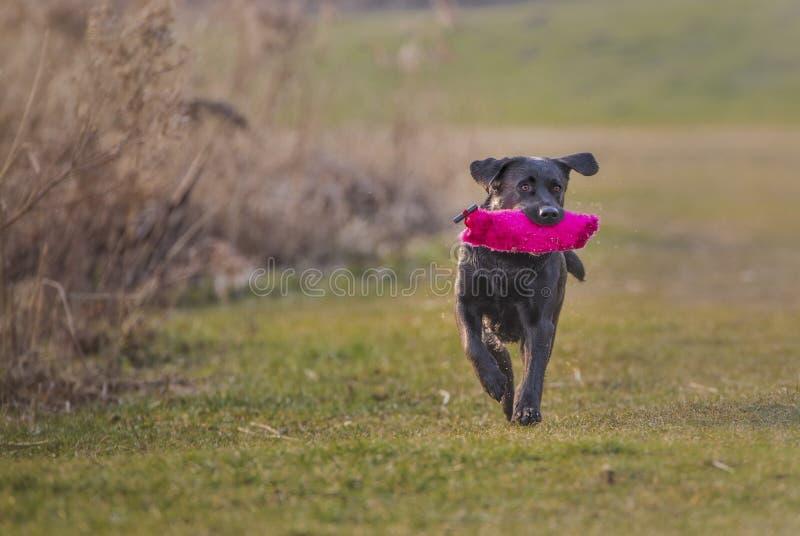 svarta labrador arkivfoton