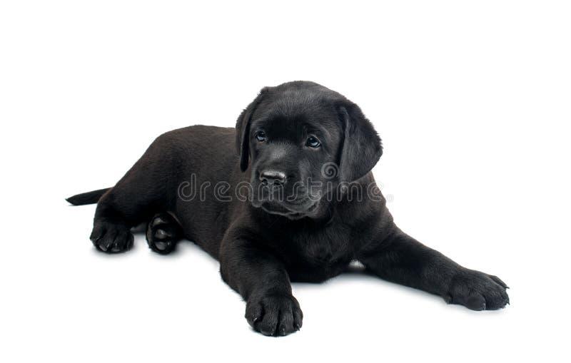 Svarta labrador isolerade fotografering för bildbyråer