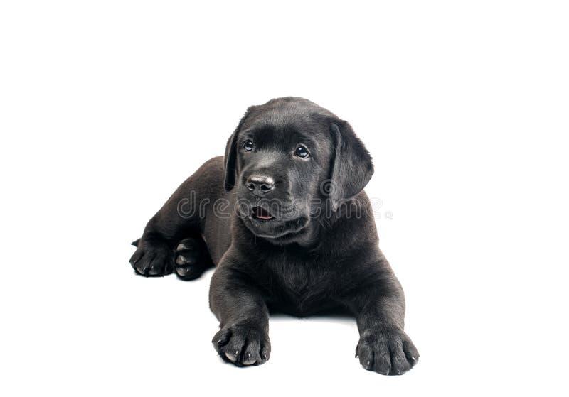 Svarta labrador isolerade royaltyfri fotografi