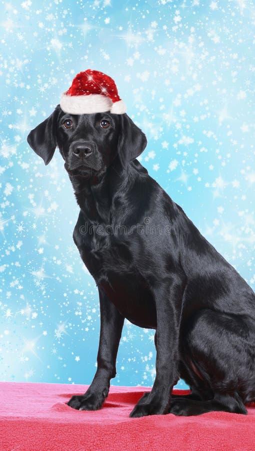 Svarta labrador retriever med den röda santa hatten fotografering för bildbyråer
