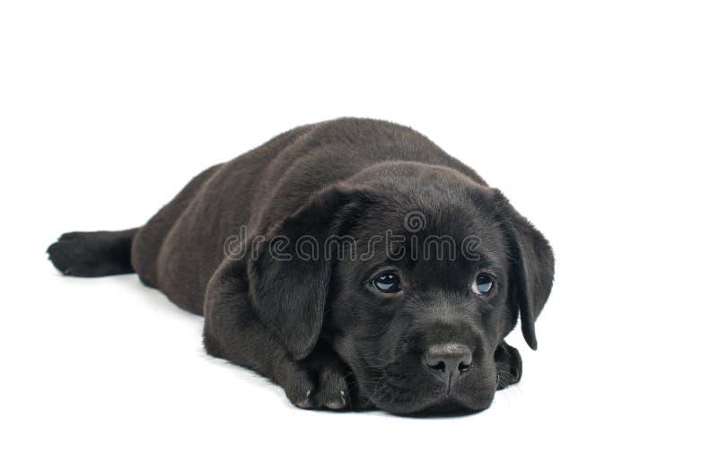 Svarta Labrador valpar royaltyfri bild