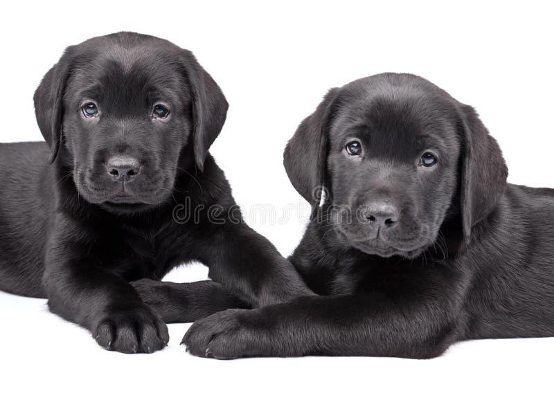 svarta labrador valpar två royaltyfri bild