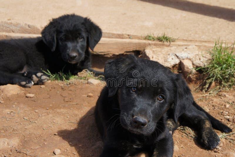 Svarta labradorvalpar som sitter i smutsen arkivfoton