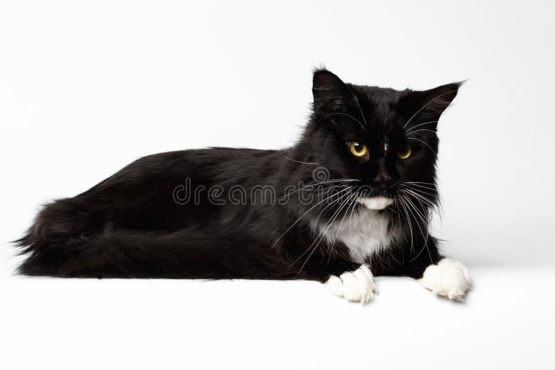 Svarta Maine Coon Cat Lying och se ner, vit bakgrund, royaltyfri fotografi