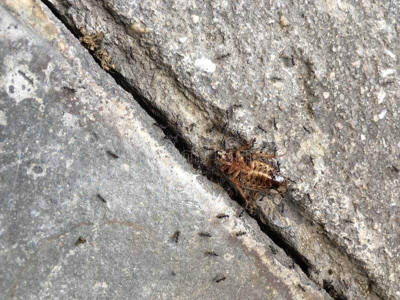 Svarta myror bär den döda kackerlackan arkivfoton