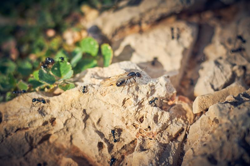 Svarta myror med vingar arkivbilder