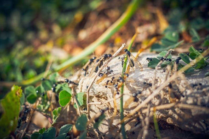 Svarta myror med vingar royaltyfria bilder
