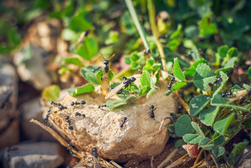 Svarta myror med vingar royaltyfri fotografi